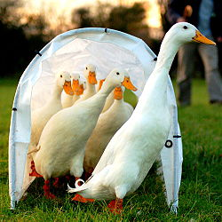 250px-Tunnel_of_ducks.jpg